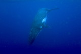 Snorkeling with humpback whales at Vava'u, Tonga
