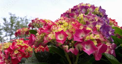 Fotobehang Hydrangea Ortensia in giardino