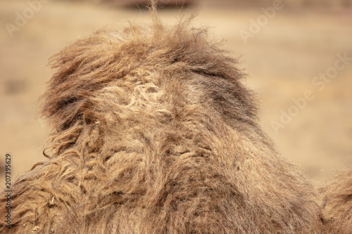 Canvas Kameel Wool on a camel's hump in nature