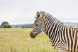 Baby zebra standing in the grass with cloudy sky backround