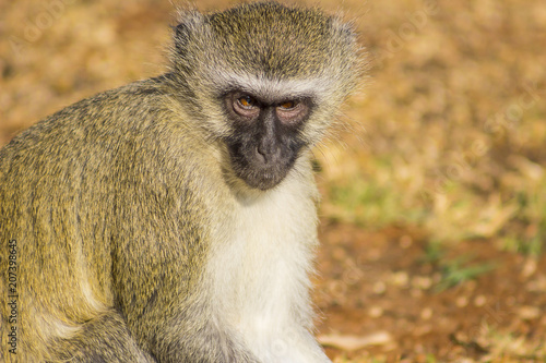 Fototapeta Vervet monkey sitting on the ground