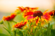 multicolor summertime gaillardia garden flowers at  sunlight
