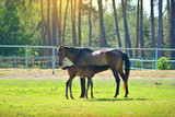 Breast-feeding of little horse. Colt eat milk of his mother horse on a stable. - 207416807