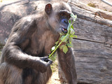 Chimpanzee eating leaves and looking into the camera