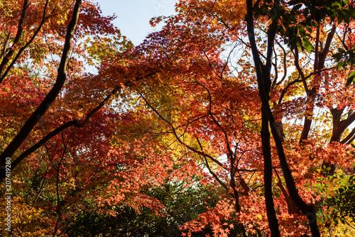 Fotobehang Bruin 紅葉したカエデの樹
