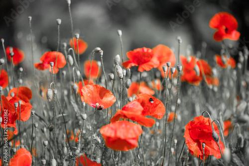 Feld mit Mohnblumen, Sommer, schwarz weiß rot