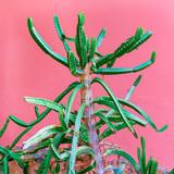 Cactus lover. Cactus on pink. Minimal design - 207430089