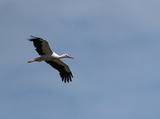 a white stork (Ciconia ciconia) flying above the nature reserve Kuehkopf, Hesse, Germany