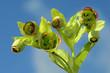 Leinwanddruck Bild - Stinkende Nieswurz, Helleborus foetidus,