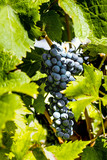 A bunch of black grapes against the background of green leaves. Grape vine in a natural environment.