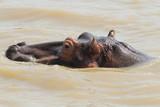 hippopotame - 207453475