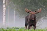 Moose. Elk. Male in autumn fog. - 207455043
