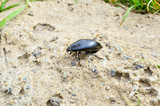 spring May beetle creeps along the sand to the grass
