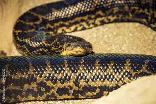 Python snake close up shot.
