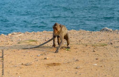 Fotobehang Thailand single monkey on ground and sea background