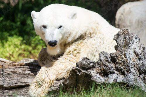 Aluminium Ijsbeer white polar bear posing