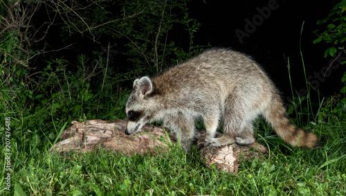 Aluminium Kangoeroe Raccoon