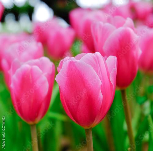 Fotobehang Tulpen pink tulip in a beautiful field.