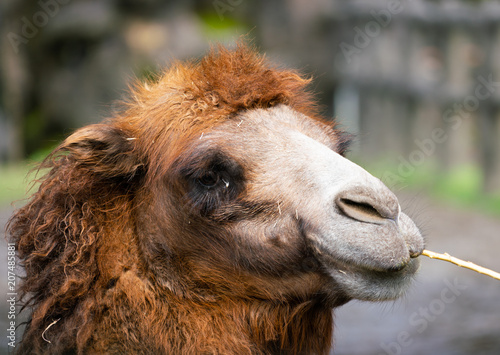 Canvas Kameel Bactrian camel or Camelus bactrianus with two humps
