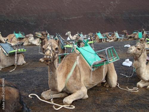 Fotobehang Kameel Kamel-Reiten auf Lanzarote
