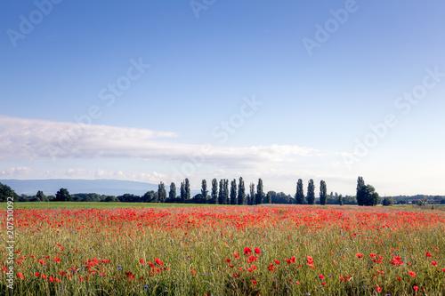 Aluminium Klaprozen Red poppy field in springtime