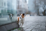 dog is alone in the city at the rain. Jack Russell Terrier in Europe. pet in town