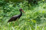 Cigogne noire cherchant de la nourriture, black storck - 207513424