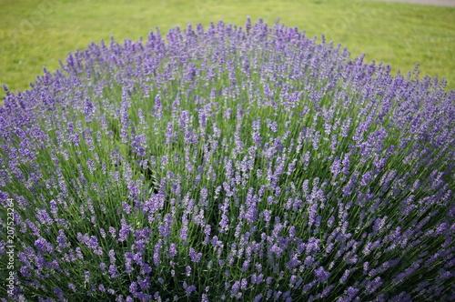 Fotobehang Lavendel Lavendel Feld im Frühling