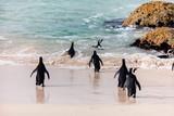 African Penguins - 207534855