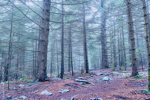 Fotobehang Betoverde Bos Autumn foliage pine tree forest with fog and mist in dark shadow during fall with blue color scary spooky