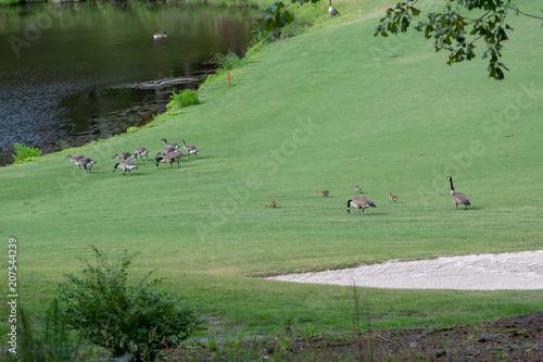 Fotobehang Olijf Family of geese in the field
