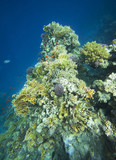 Colorful corals on the reef in the underwater world of the red sea.