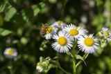Chamomiles flower macro shot. A wasp on chamomile flower. - 207549001