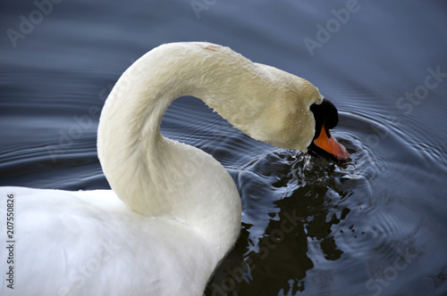Aluminium Zwaan close up of a swan dipping its beak in the water