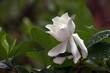 Gardenia flower in the garden.