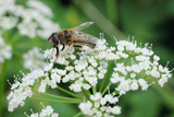 Hoverfly - white blossoms - Stockphoto - 207557084