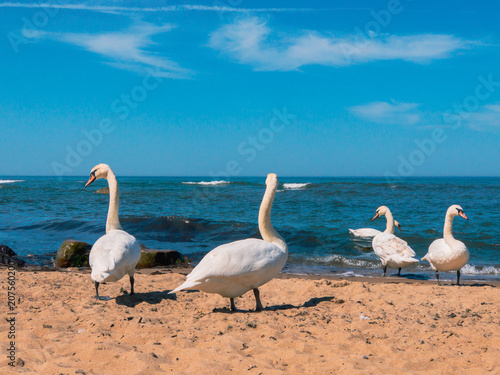 Aluminium Zwaan Swans walk on the sandy beach at sunny day time