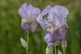 Country Iris
