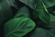 Leinwandbild Motiv Large foliage of tropical leaf with dark green texture,  abstract nature background.