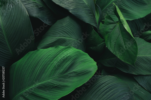 Foto Murales Large foliage of tropical leaf with dark green texture,  abstract nature background.