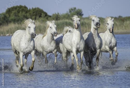 White Stallions Running in the Water