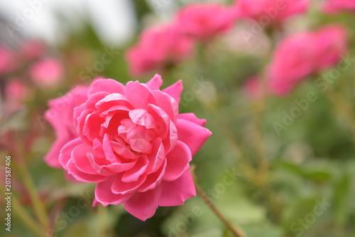 Fotobehang Candy roze 薔薇(ピンクダブルノックアウト)