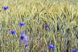 Getreidefeld / Getreidefeld mit Kornblumen