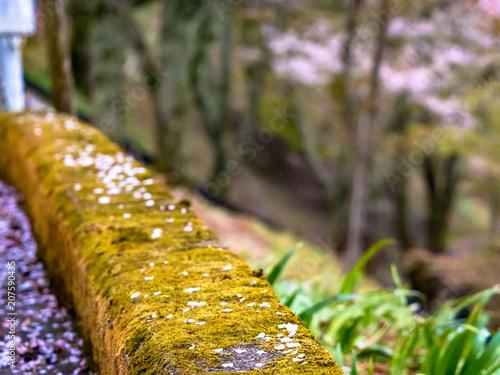 Canvas Honing 吉野の桜
