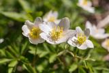 white flowering anemone - 207593415