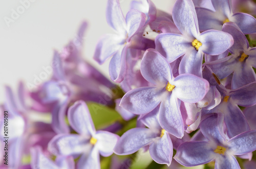 Lilac bloomed in spring.