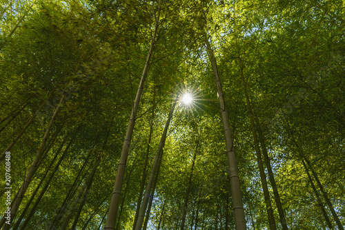 Fotobehang Bamboe An image of bright sunlight flowing down through the canopy of a bamboo grove in Tokyo, Japan
