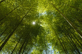 An image of bright sunlight flowing down through the canopy of a bamboo grove in Tokyo, Japan