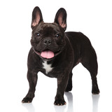 cute panting french bulldog standing - 207613204