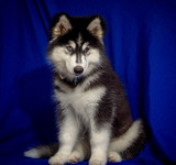 cute black siberian husky dog wooly coat puppy